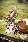 Cow wearing headdress in grassy field Stock Photo - Premium Royalty-Free, Artist: Christina Handley, Code: 649-06432618