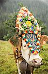 Cow wearing headdress in grassy field Stock Photo - Premium Royalty-Free, Artist: Christina Handley, Code: 649-06432619