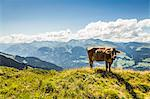 Cow grazing on grassy hillside Stock Photo - Premium Royalty-Free, Artist: Westend61, Code: 649-06433161