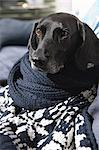 Dog wrapped in knitted blanket on sofa Stock Photo - Premium Royalty-Free, Artist: Blend Images, Code: 649-06433209