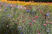 Row of colorful flowers in field Stock Photo - Premium Royalty-Freenull, Code: 649-06433411