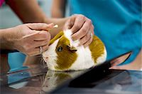 Guinea Pig Stock Photo - Premium Royalty-Freenull, Code: 6106-06434422