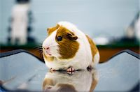 Guinea Pig Stock Photo - Premium Royalty-Freenull, Code: 6106-06434423