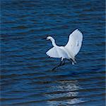 Little Egret Stock Photo - Premium Royalty-Free, Artist: Christina Krutz, Code: 618-06436768