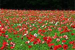 Poppy field in Nakafurano, Hokkaido Stock Photo - Premium Royalty-Free, Artist: JTB Photo, Code: 622-06439384