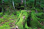 Cut tree in a forest in Sakuho, Nagano Prefecture Stock Photo - Premium Royalty-Free, Artist: David Muir, Code: 622-06439415