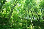 Beech forest in Aomori Prefecture Stock Photo - Premium Royalty-Free, Artist: JTB Photo, Code: 622-06439552