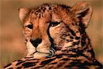 Portrait of Cheetah Stock Photo - Premium Rights-Managed, Artist: GreatStock, Code: 873-06440153
