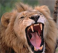 Close-Up of Lion Roaring Stock Photo - Premium Rights-Managednull, Code: 873-06440168