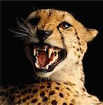 Portrait of Cheetah Snarling Stock Photo - Premium Rights-Managed, Artist: GreatStock, Code: 873-06440174