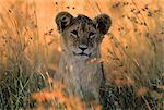 Portrait of Lion Cub in Tall Grass Stock Photo - Premium Rights-Managed, Artist: GreatStock, Code: 873-06440225