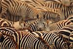 Herd of Zebras Stock Photo - Premium Rights-Managed, Artist: GreatStock, Code: 873-06440243