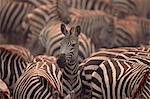 Herd of Zebras Stock Photo - Premium Rights-Managed, Artist: GreatStock, Code: 873-06440244