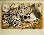 Portrait of Leopard Stock Photo - Premium Rights-Managed, Artist: GreatStock, Code: 873-06440263
