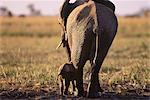 Elephant with Calf Savuti Region, near Chobe Botswana, South Africa Stock Photo - Premium Rights-Managed, Artist: GreatStock, Code: 873-06440294