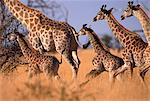 Giraffe Running in Grassland Stock Photo - Premium Rights-Managed, Artist: GreatStock, Code: 873-06440307