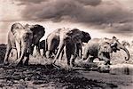 Herd of Elephants Crossing River Stock Photo - Premium Rights-Managed, Artist: GreatStock, Code: 873-06440369