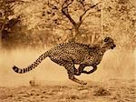 Cheetah Running Stock Photo - Premium Rights-Managed, Artist: GreatStock, Code: 873-06440414