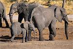 Elephants and Calf Savuti Region Near Chobe National Park Botswana Stock Photo - Premium Rights-Managed, Artist: GreatStock, Code: 873-06440477