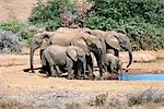 African Elephants at Waterhole Addo Elephant National Park Eastern Cape, South Africa Stock Photo - Premium Rights-Managed, Artist: GreatStock, Code: 873-06440483