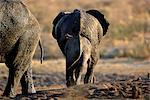 Rear-View of African Elephants at Waterhole, Africa Stock Photo - Premium Rights-Managed, Artist: GreatStock, Code: 873-06440489