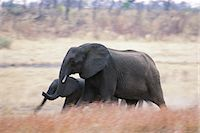 Elephants Africa Stock Photo - Premium Rights-Managednull, Code: 873-06440495