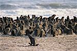Seal Colony on Beach Namibia, Africa Stock Photo - Premium Rights-Managed, Artist: GreatStock, Code: 873-06440503