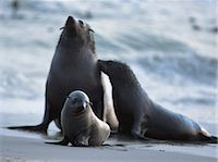 Seal Family on Beach Namibia, Africa Stock Photo - Premium Rights-Managednull, Code: 873-06440505