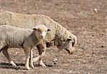 Sheep and Lamb Karoo, Western Cape South Africa Stock Photo - Premium Rights-Managed, Artist: GreatStock, Code: 873-06440509