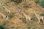 Aerial View of Giraffe Herd Running Erindi, Namibia, Africa Stock Photo - Premium Rights-Managed, Artist: GreatStock, Code: 873-06440534
