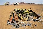 Welwitschia Plant and Safari Vehicles Namibia, Africa Stock Photo - Premium Rights-Managed, Artist: GreatStock, Code: 873-06440537