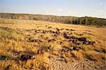 Buffalo Herd Kruger National Park Mpumalanga, South Africa Stock Photo - Premium Rights-Managed, Artist: GreatStock, Code: 873-06440613