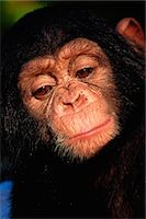 Chimpanzee, Pretoria Zoo, South Africa Stock Photo - Premium Rights-Managednull, Code: 873-06440806