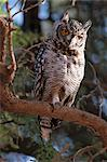 Spotted Eagle Owl Stock Photo - Premium Rights-Managed, Artist: GreatStock, Code: 873-06440822