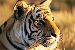 Close-up of Tiger Stock Photo - Premium Rights-Managed, Artist: GreatStock, Code: 873-06440915
