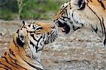 Tigers Touching Noses Stock Photo - Premium Rights-Managed, Artist: GreatStock, Code: 873-06440917