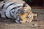 Portrait of Tiger Stock Photo - Premium Rights-Managed, Artist: GreatStock, Code: 873-06440918