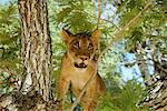 Lioness Looking Through Branches Stock Photo - Premium Rights-Managed, Artist: GreatStock, Code: 873-06440927