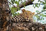 Leopard Resting in Tree Stock Photo - Premium Rights-Managed, Artist: GreatStock, Code: 873-06440945