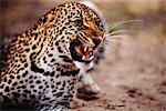 Leopard Snarling Stock Photo - Premium Rights-Managed, Artist: GreatStock, Code: 873-06440949