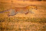 Leopard Running Stock Photo - Premium Rights-Managed, Artist: GreatStock, Code: 873-06440951