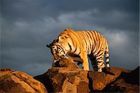 Tiger with Prey Stock Photo - Premium Rights-Managednull, Code: 873-06440955