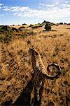 Tiger Walking in Grassland, Karoo, South Africa Stock Photo - Premium Rights-Managed, Artist: GreatStock, Code: 873-06440957