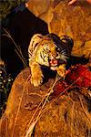 Tiger with Prey, Karoo, South Africa Stock Photo - Premium Rights-Managed, Artist: GreatStock, Code: 873-06440961