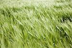 Long grass, close-up Stock Photo - Premium Royalty-Free, Artist: Christina Handley, Code: 614-06442664