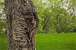 Maple tree trunk Stock Photo - Premium Royalty-Free, Artist: Beyond Fotomedia, Code: 614-06442976