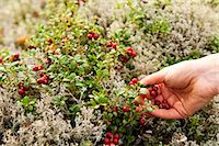 selecting - Hands picking cherries from plants Stock Photo - Premium Royalty-Freenull, Code: 698-06444309
