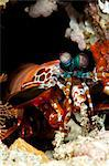 Peacock mantis shrimp (Odontodactylus scyallarus), Sulawesi, Indonesia, Southeast Asia, Asia Stock Photo - Premium Rights-Managed, Artist: Robert Harding Images, Code: 841-06444728