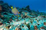 Sea turtle (Chelonioidea) and queen angelfish (Holacanthus ciliaris) eating together, Cozumel, Mexico, Caribbean, North America Stock Photo - Premium Rights-Managed, Artist: Robert Harding Images, Code: 841-06444838