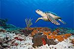 Sea turtle (Chelonioidea), Cozumel, Mexico, Caribbean, North America Stock Photo - Premium Rights-Managed, Artist: Robert Harding Images, Code: 841-06444843